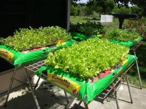 Edible Spring Greens  Garden-in-a-Bag