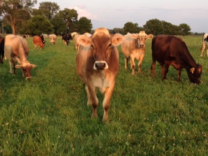 The dairy herd on Demmitt Dairy Farm